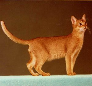 Int.Ch. Badfinger's Little Puma; 23 ruddy; male (1980-1992) typfull Abyssinian; a Friendly Father & Lover. He produced many fantastic Abyssinian-Kittens with Taiga and MiIva!