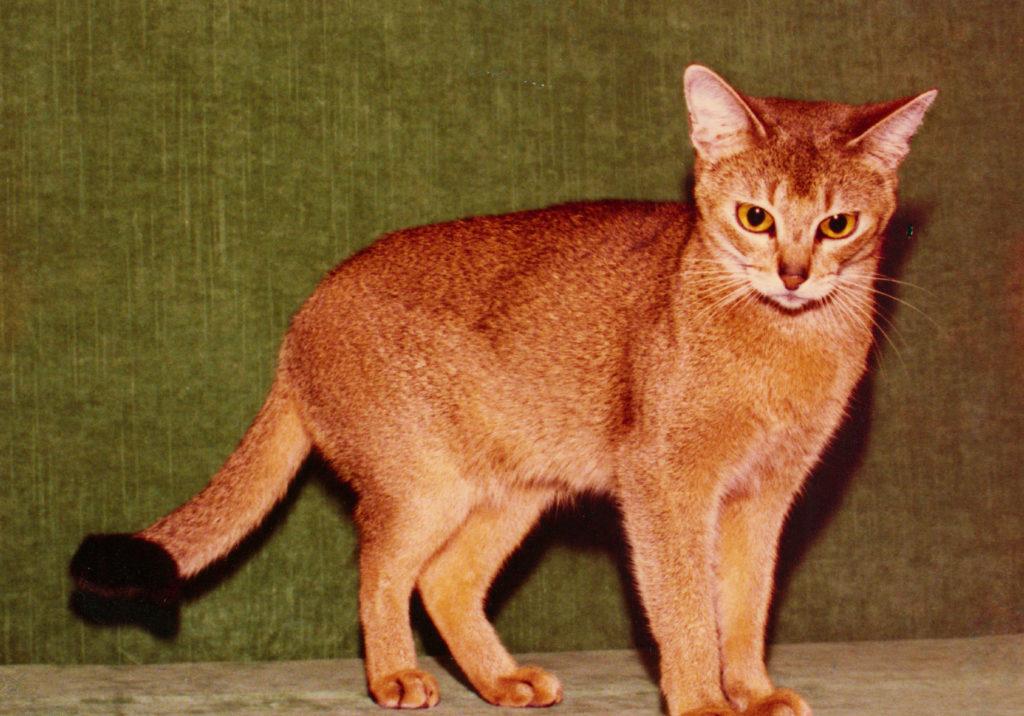 Int. Ch. Miranti av Sriwijaja 23 ruddy; (1975- 1986)