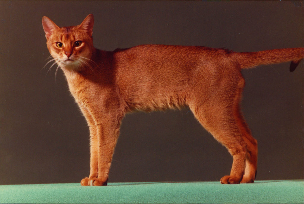 Int.Gr.Ch. Nepenthes Tquilla 23 ruddy (1976 - 1991) produced 4 Litters with Miranti = 12 ruddy Kittens