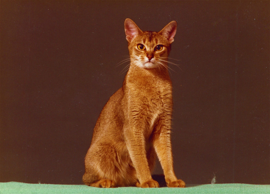 Eur.Gr.Int.Ch. Wodan's Nubiani; 23 ruddy; female (1981-1994) Famous Aby many Best in Shows and many famous Kittens 23 & 23 a
