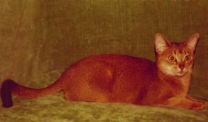 Wodan's Angelina; 23 ruddy the most friendly Aby I ever had! (1976-1989) had 12 Kittens with Tquilla