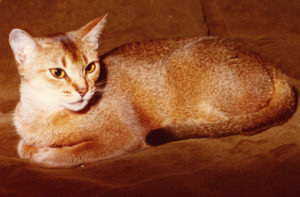 Wodan's Sophia; 23 ruddy (1979-1996) a Breeding-Abyssinian super friendly like Mother & Father! She had several Litters, ruddy & red-Kittens