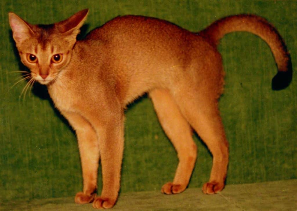 Gr.Int.Ch. Wodan's Milva Liberta; 23 ruddy Female (1980 - 1996) further famous Kittens with Little Puma